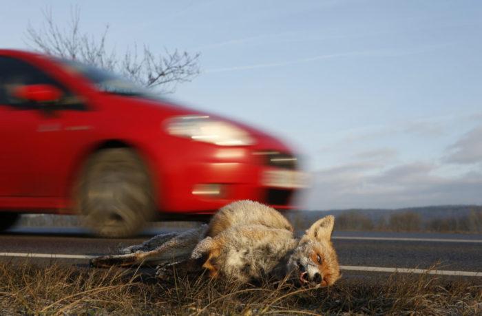 Wildunfälle, Wildwechsel und Verkehrsunfall, Jagdfakten Österreich