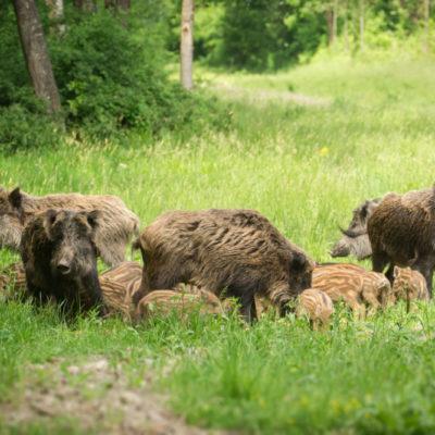 Wildschwein Rauschzeit Lebensraum Sozialverhalten: Jagdfakten Österreich