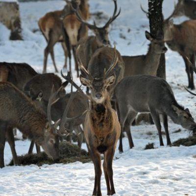 Wild füttern, darf der Jäger füttern, JAGDFAKTEN ÖSTERREICH