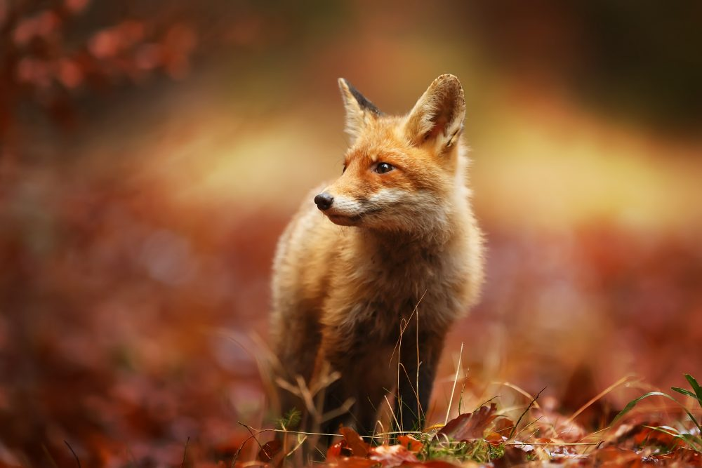 Fuchs, Rotfuchs, Fuchsjagd, Steckbrief Fuchs, Fuchs - Jagdbare Wildarten