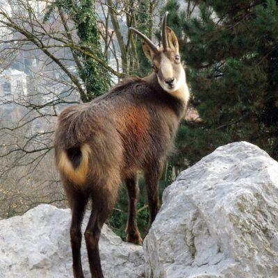Gamswild, Jagdfakten Österreich