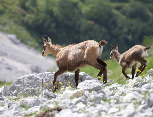 Jagdbare Wildarten: Das Gamswild