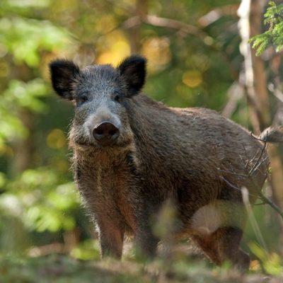 Eckdaten zur Afrikanischen Schweinepest, Sicherheitsmaßnahmen Afrikanische Schweinepest Fragen und Antworten, JAGDFAKTEN Österreich
