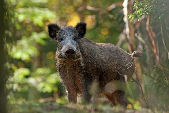 Afrikanische Schweinepest in Tschechien, JAGDFAKTEN Österreich