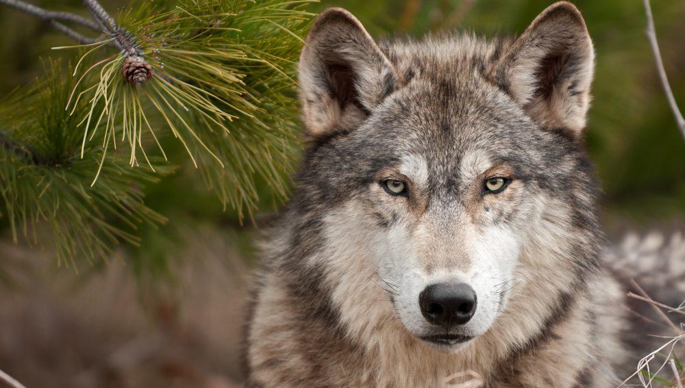 Reinhold Messner im Gespräch mit Jagdfakten - Rückkehr der Wölfe in den Alpenraum