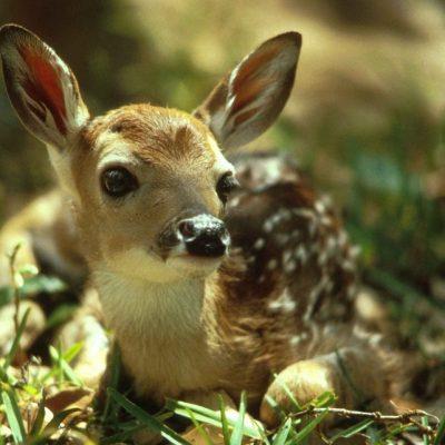 Umgang mit jungen Wildtieren, Jagdfakten Österreich