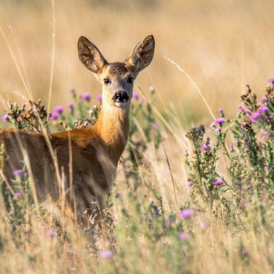 Rehbrunft, Blattzeit, Paarungszeit Rehwild, Jagdfakten Österreich
