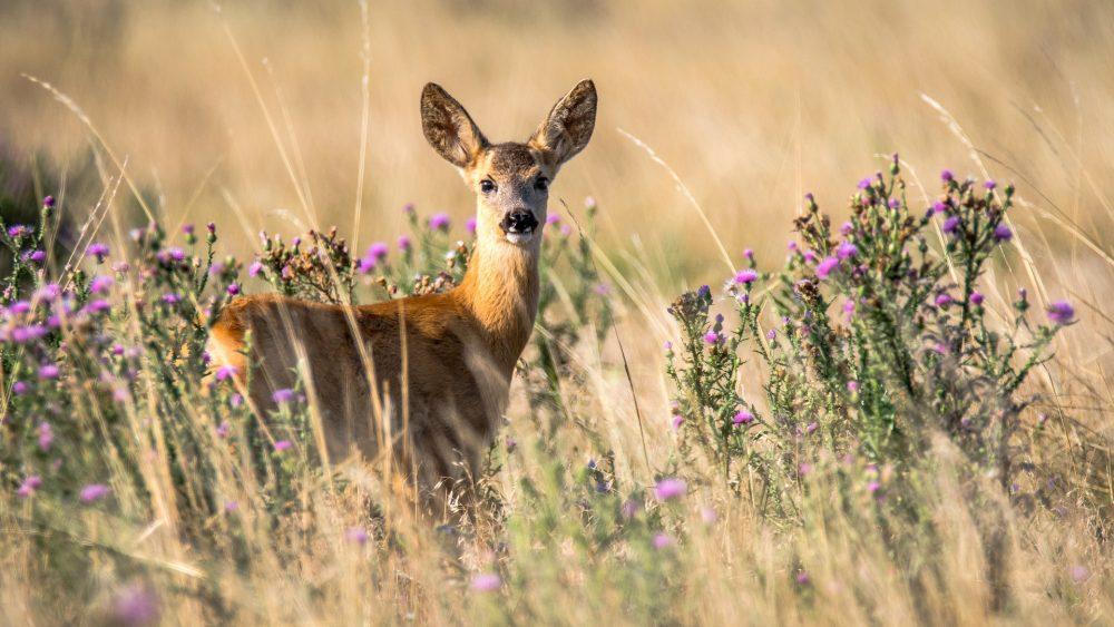 Rehbrunft, Blattzeit, Paarungszeit Rehwild, wichtigste Fragen zu Jagd & Jäger, Jagdfakten Österreich