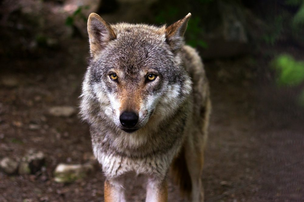Wolf, Jagdfakten Österreich