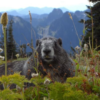 Alpen-Murmeltier, Murmeltiertag, Jagdfakten Österreich