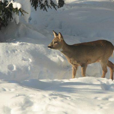 Winter: Rücksicht auf Wildtiere, Jagdfakten Österreich
