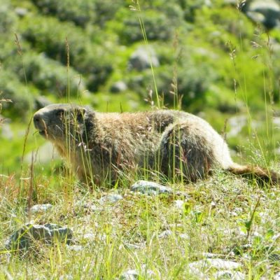 Murmeltier, Alpenmurmeltier, Jagdfakten Österreich