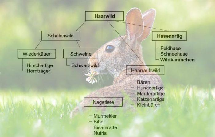 Wildkaninchen, Jagdfakten.at