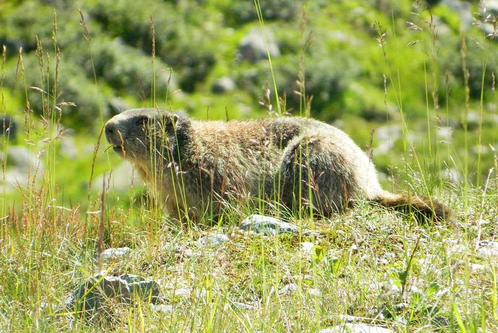 Murmeltier - ein kurzer Steckbrief, Jagdfakten.at informiert