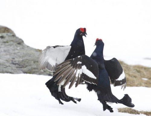 Tierfamilien: Die Raufußhühner