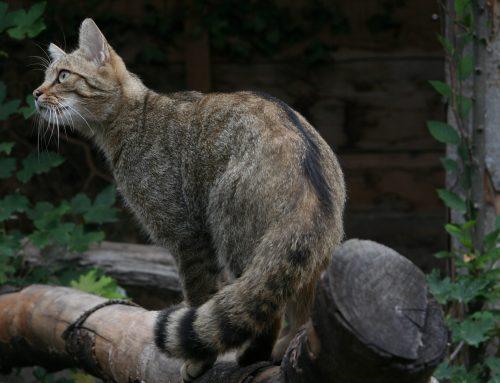 Wildarten: Europäische Wildkatze – Steckbrief