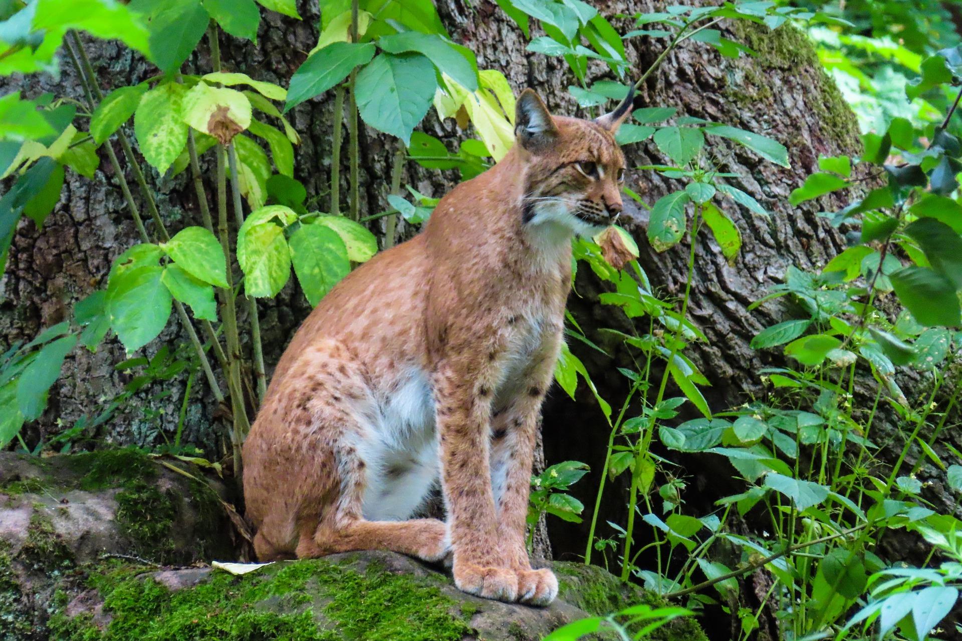 Luchse - heimliche Waldbewohner in Österreich, jagdfakten.at informiert