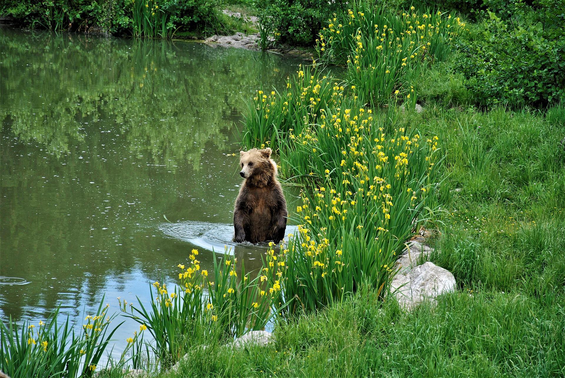 Begegnung mit Bären - Verhaltensregeln, Jagdfakten.at