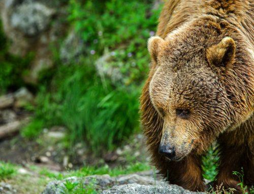 Verhaltensregeln bei Begegnungen mit Bären