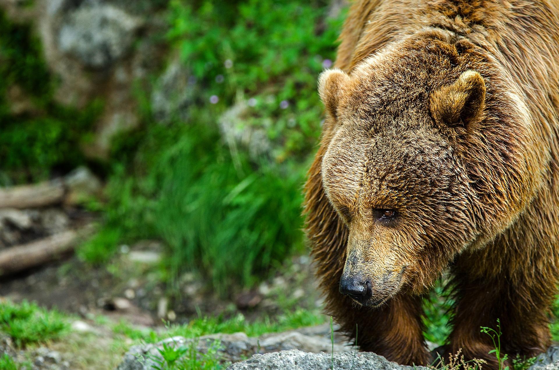 Braunbär, Begegnung mit Bären - Verhaltensregeln, Jagdfakten.at