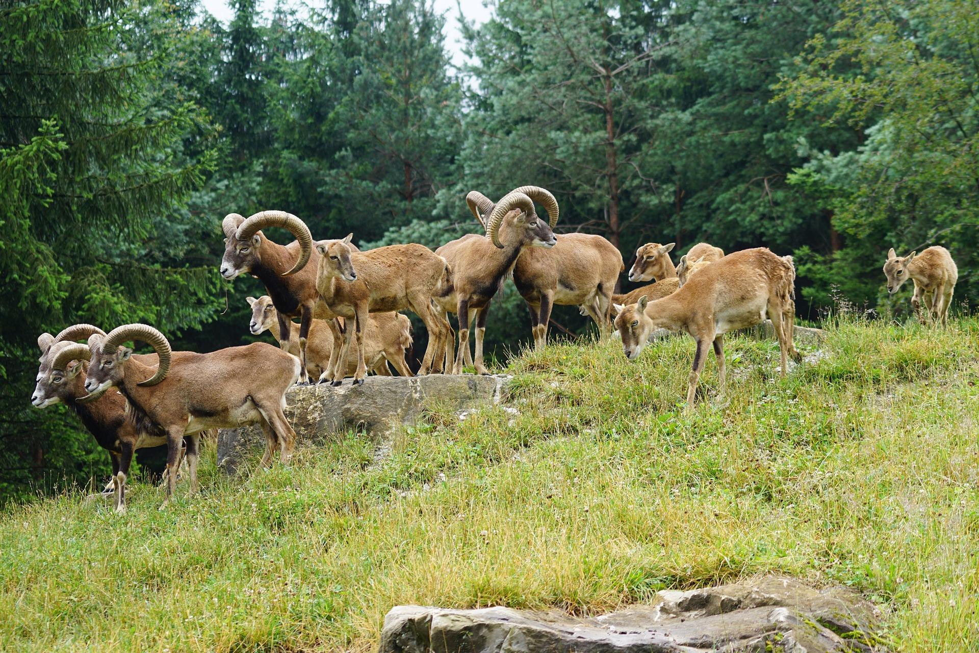 Steckbrief Muffelwild, Mufflon: Jagdfakten.at informiert