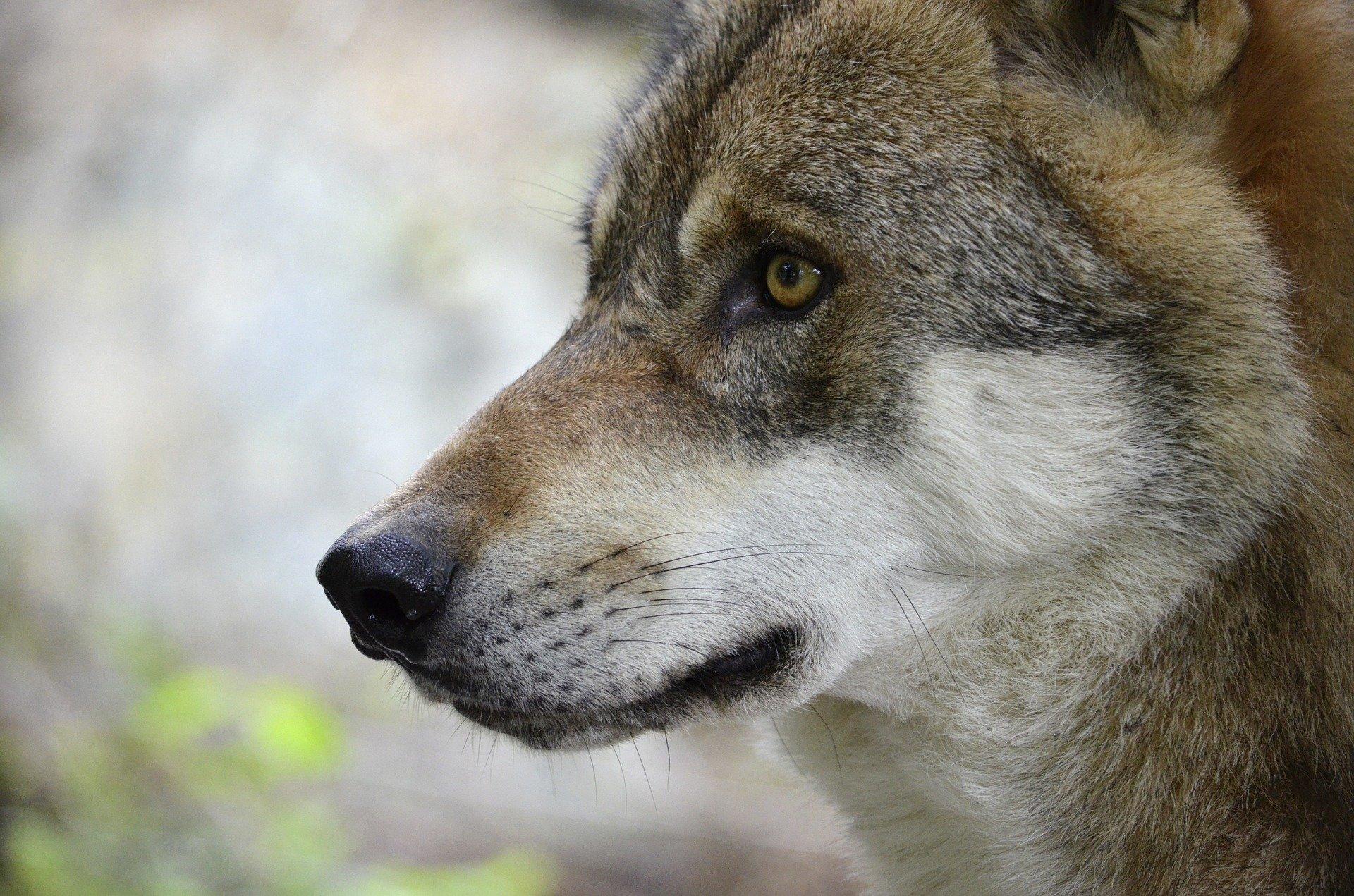 Steckbrief Wolf, jagdfakten.at informiert