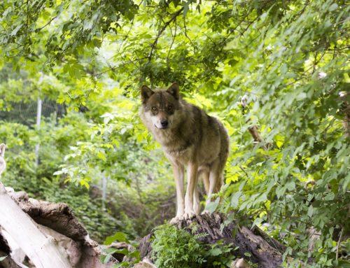 Wildarten: Die Wölfe
