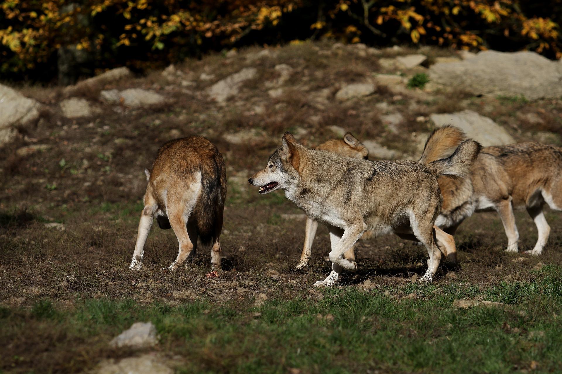 Wolfsrudel: Jagdfakten.at informiert