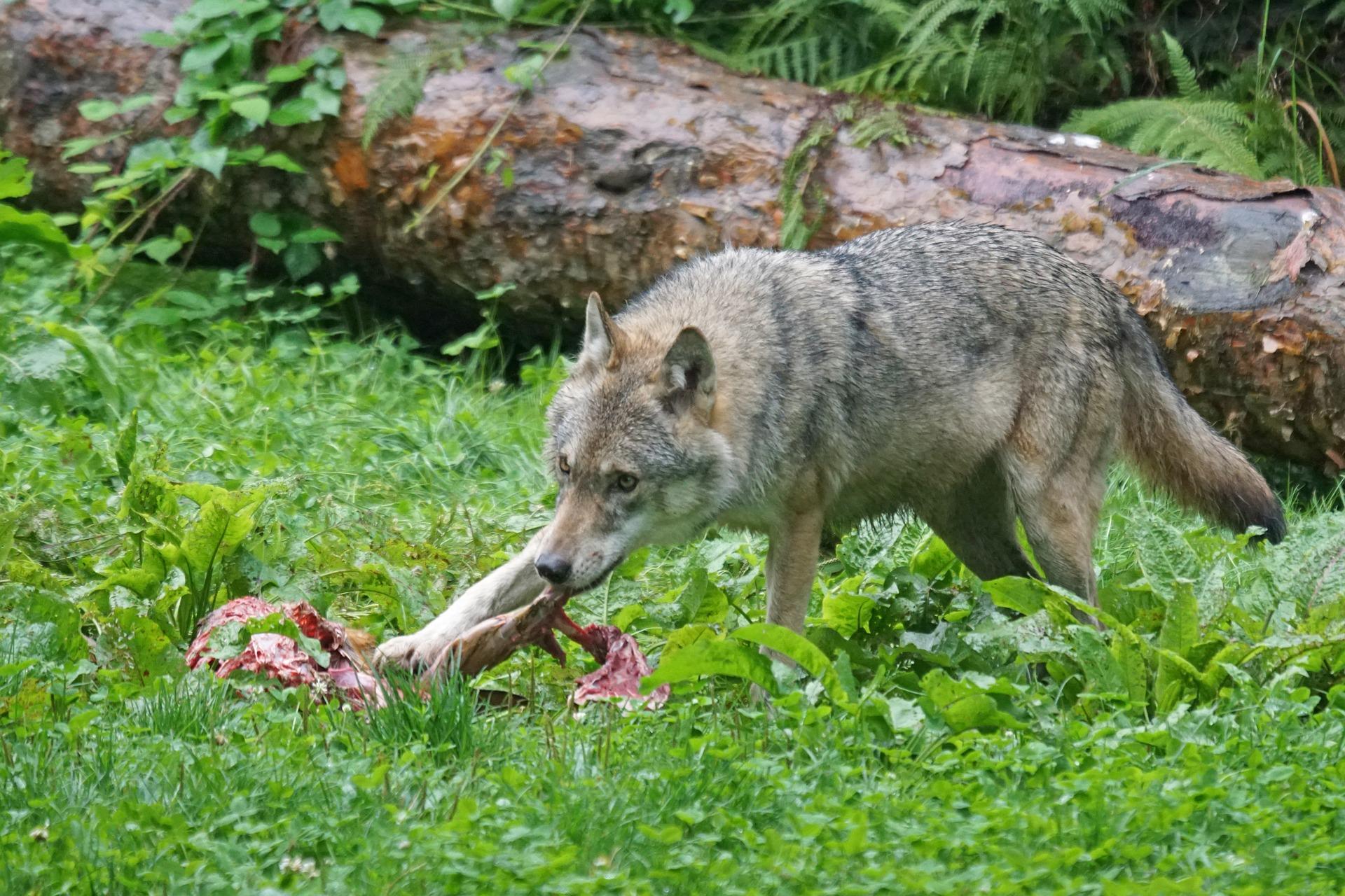 Steckbrief Wolf, Wölfe: Jagdfakten.at informiert