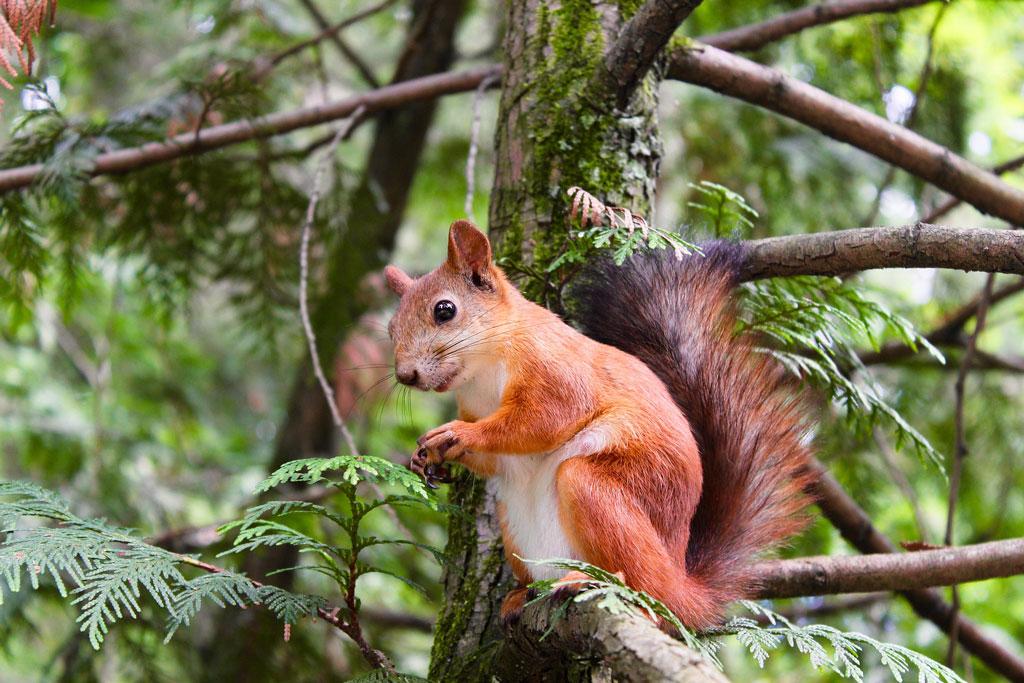Was frisst ein Eichhörnchen? Jagdfakten.at