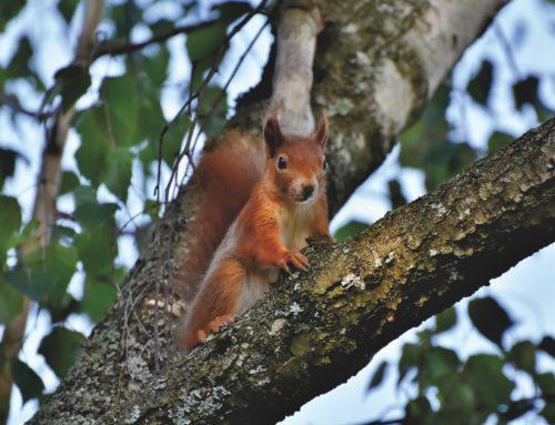 Wildarten: Das Eichhörnchen