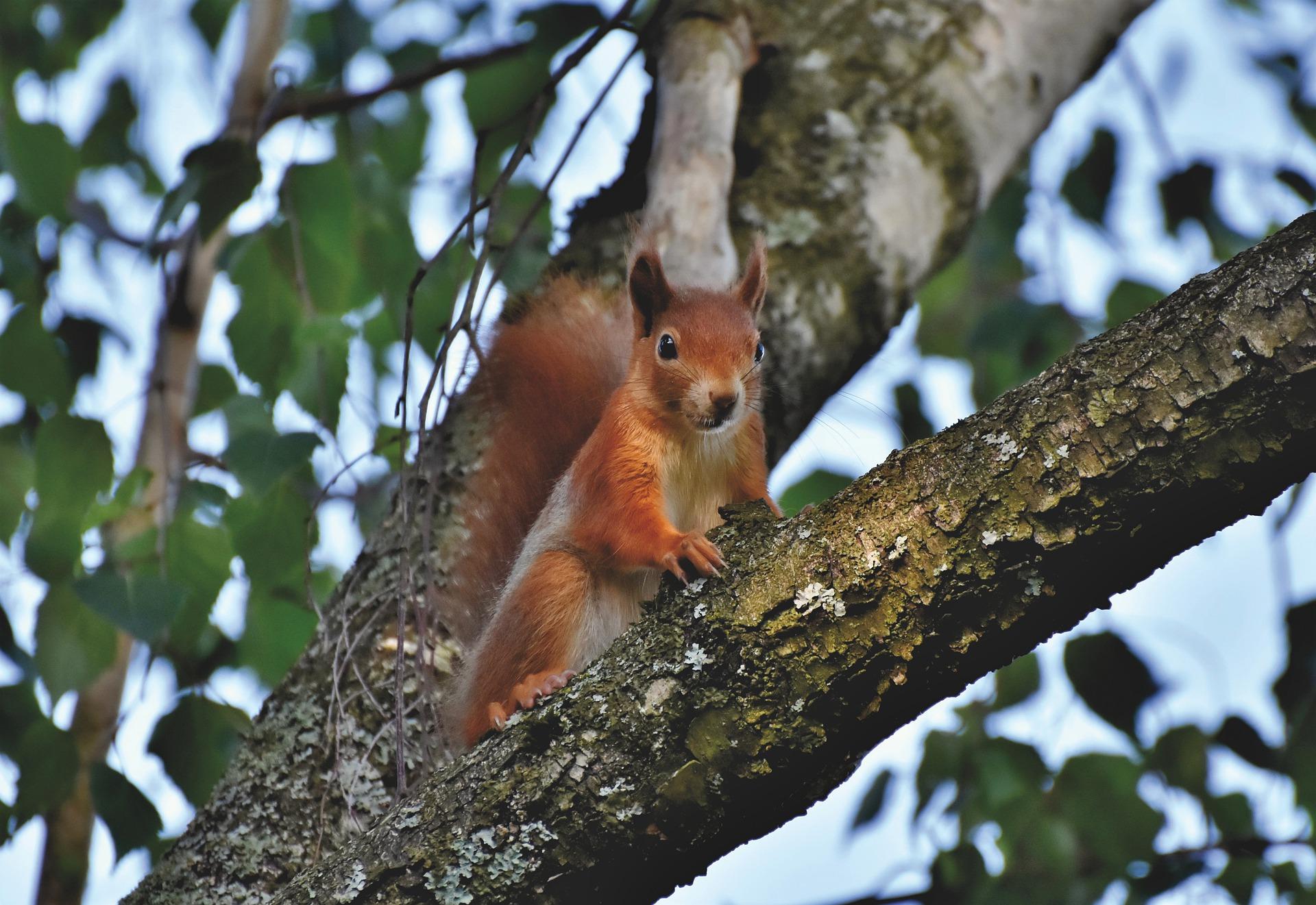 Eichhörnchen, Steckbrief