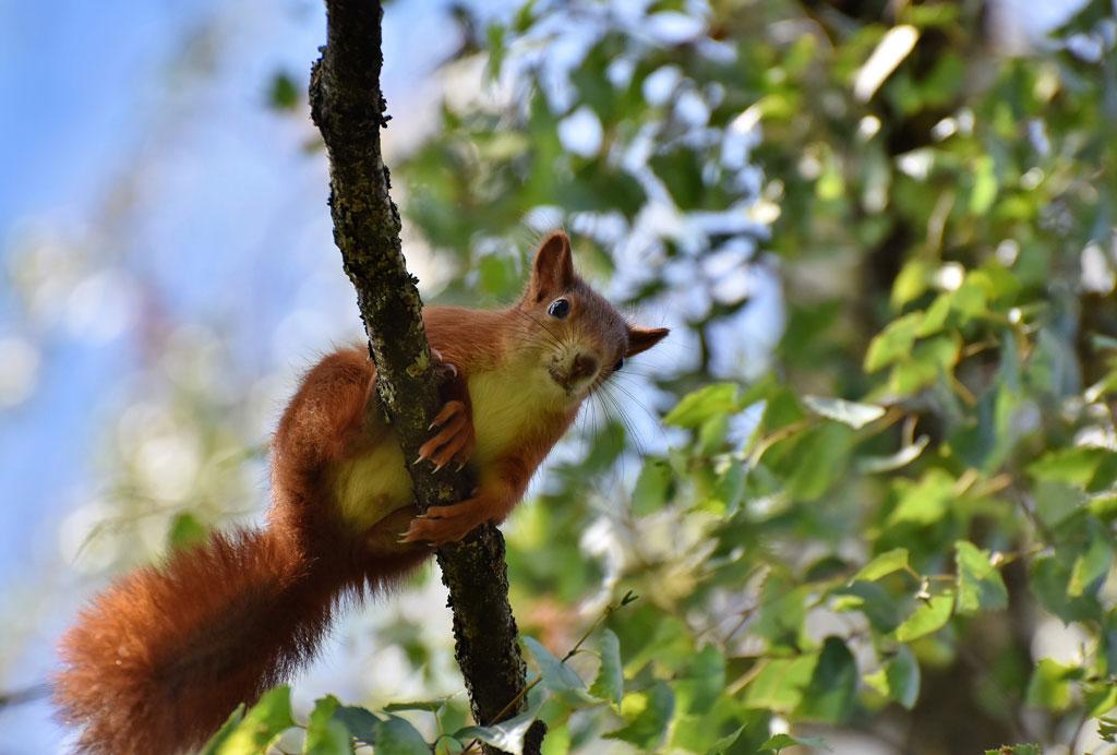 Gibt es fliegende Eichhörnchen? Jagdfakten.at informiert.