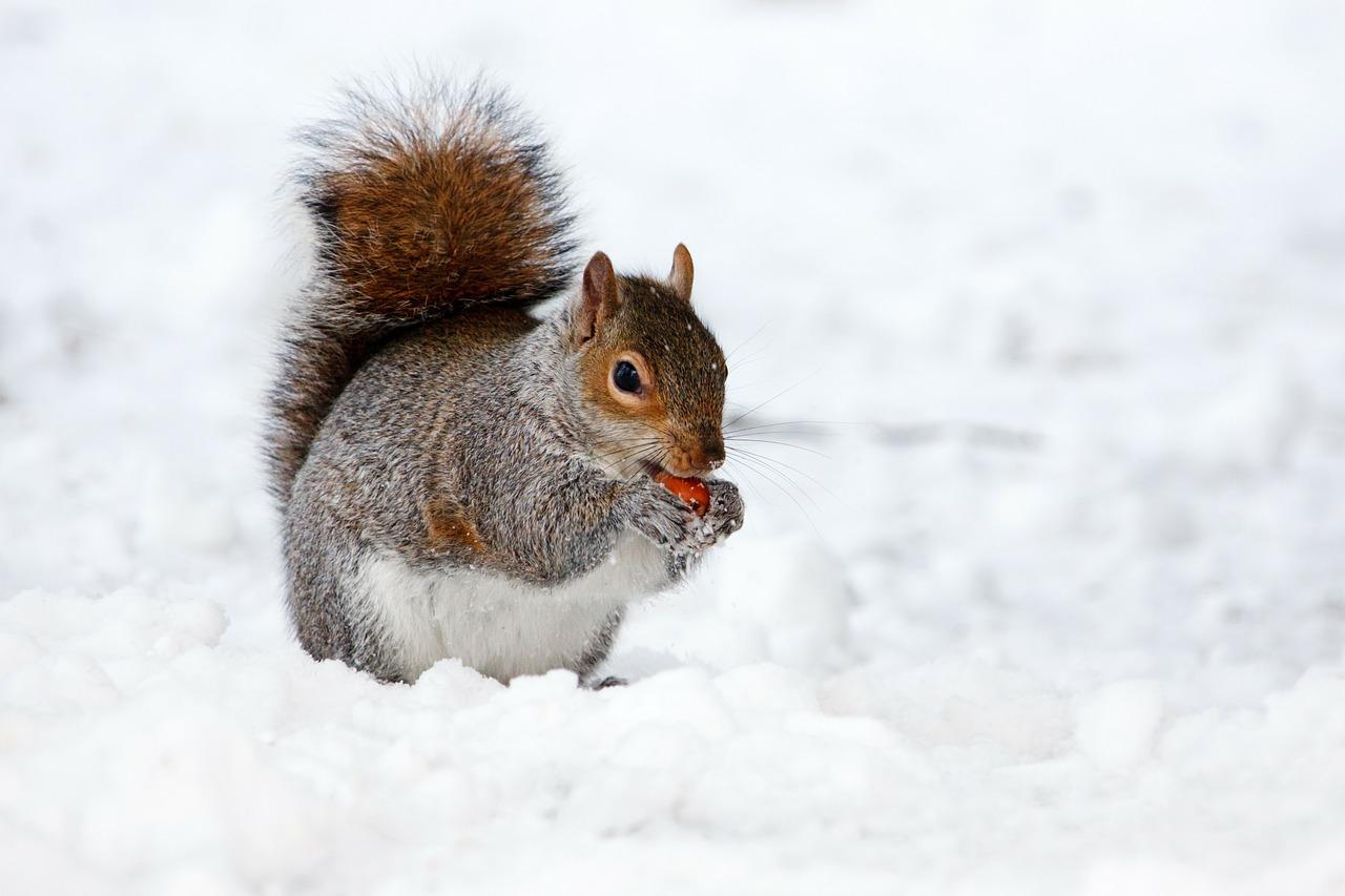 Grauhörnchen, Aussehen - Jagdfakten.at informiert