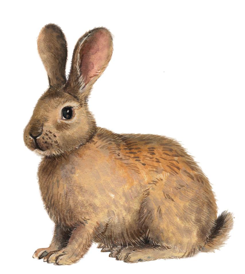 Ist der Osterhase ein Kaninchen? Jagdfakten.at informiert.