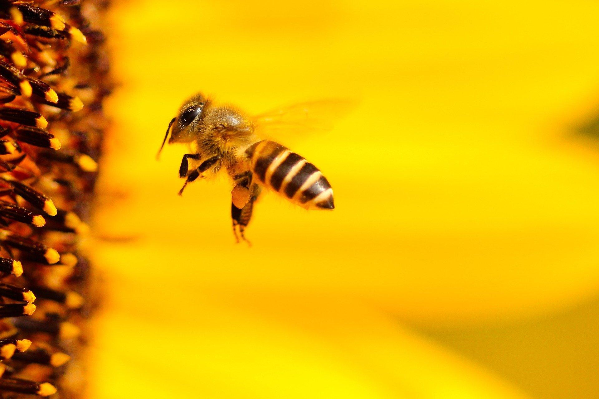 Die Biene ist da Bestäuberinsekt Nummer 1