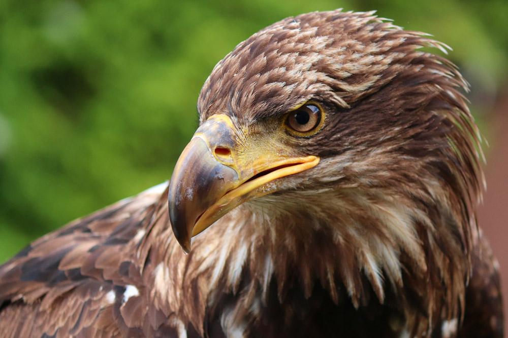 Adler, wachsame Adleraugen, Jagdfakten.at informiert